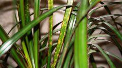 Как бороться с желтеющими листьями на драцене