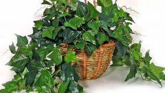 Почему у плюща сохнут и опадают листья