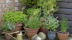 Какие ароматные травы посадить в саду
