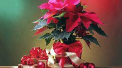 Какие растения можно поставить вместо елки на Новый год