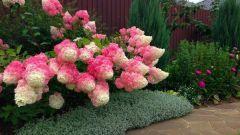 Как добиться крупных соцветий у метельчатой гортензии