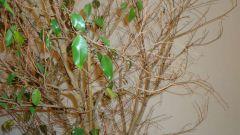 Почему опадают листья фикуса в домашних условиях