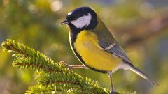 Чем кормить синичек и других птиц зимой