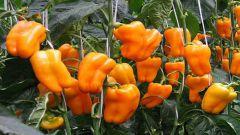 Какие сорта болгарского перца самые урожайные