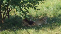 Достопримечательности Крыма: уникальный парк львов «Тайган»