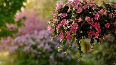 Как вырастить здоровую рассаду петунии
