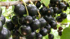 6 шагов к высокому урожаю черной смородины