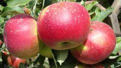 Как ускорить плодоношение плодовых деревьев