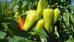 Нужно ли замачивать семена перца перед посевом