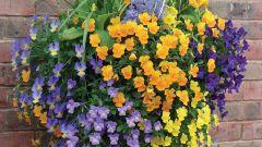 Как вырастить рассаду ампельной виолы
