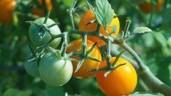 Какие сорта томатов подходят для теплиц из поликарбоната для средней полосы