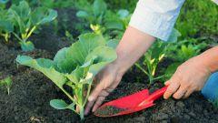 Когда высевать семена капусты на рассаду