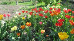 Как добиться обильного цветения тюльпанов