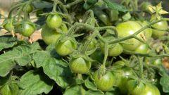 Сколько кустов помидор можно посадить в теплице