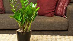 Замиокулькас: как ухаживать за долларовым деревом