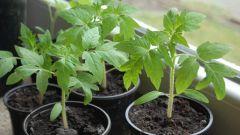 Почему у рассады томатов отсыхают и желтеют нижние листочки