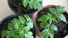 Как и когда лучше сажать помидоры на рассаду