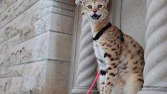 Кошки породы саванна: где купить и сколько стоят