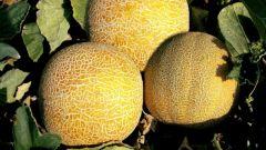 Как успешно вырастить рассаду дыни