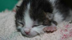 Как ухаживать за новорожденным котенком-сиротой