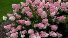 Как вырастить красивую метельчатую гортензию