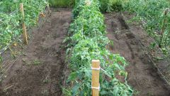 Когда и как нужно высаживать рассаду томатов в грунт