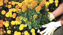 Как просто использовать бархатцы в защите растений от болезней и вредителей