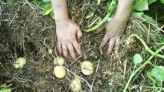 Как вырастить картофель без перекопки грунта
