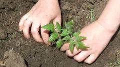 Когда сажать рассаду помидор в открытый грунт