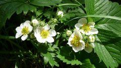 Почему не цветет клубника: причины