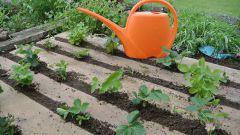 Как часто поливать клубнику во время плодоношения