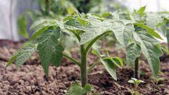 Как помочь рассаде томатов быстрее адаптироваться после высадки в теплицу