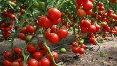 Как лучше разместить томаты в теплице