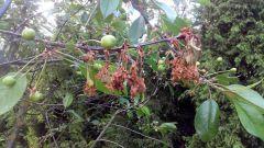 Что делать, когда болеет вишня