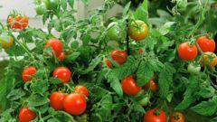 Нужно ли поливать томаты при выращивании в открытом грунте