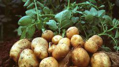 Как вырастить хороший и крупный картофель