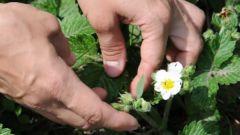 Как победить малинно-земляничного долгоносика на цветущей клубнике