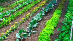 Какие работы проводят в саду и огороде в июне