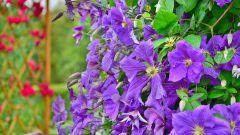 Какие выбрать плетистые растения для сада