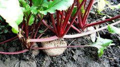 Как вырастить свеклу на огороде в открытом грунте