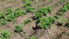 Как правильно окучивать картофель на приусадебном участке