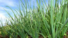 Как часто надо поливать лук-севок при выращивании на репку