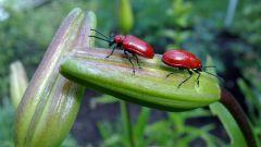 Как избавиться от красных жуков на лилиях