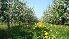 Как бороться с тлей на плодовых деревьях во время цветения в июне