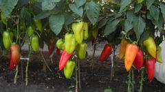 Когда можно высаживать рассаду перца в грунт