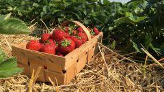 Чем подкормить клубнику, чтобы ягоды были крупнее
