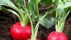 Как вырастить редиску – секреты хорошего урожая