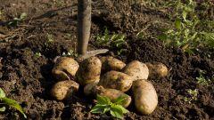 Через сколько дней после посадки можно копать картофель