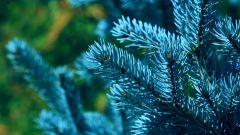 Как вырастить голубую ель