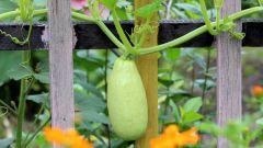 Как часто поливать кабачки в открытом грунте